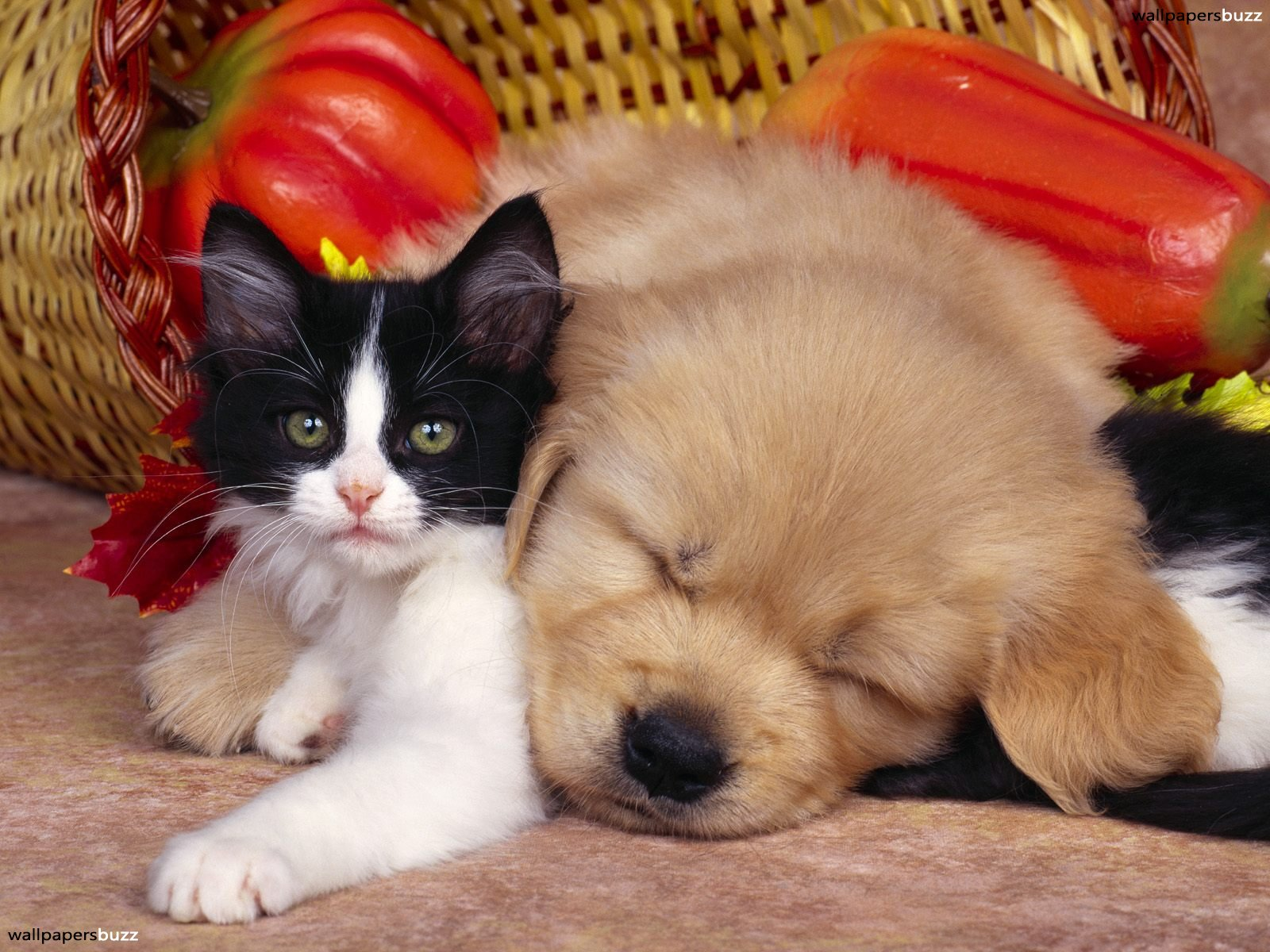 Kitten And Puppy Wallpaper High Quality Is Cool Wallpapers