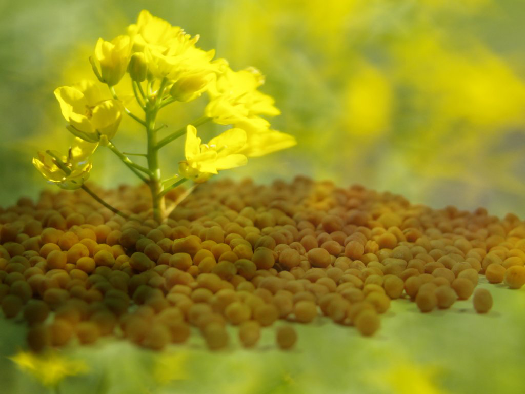 Mustard Plant Images Is Cool Wallpapers