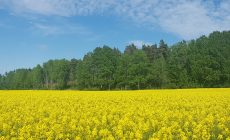 Mustard Plant Wallpapers Phone Is Cool Wallpapers