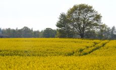 Mustard Plant Wallpapers Picture Is Cool Wallpapers