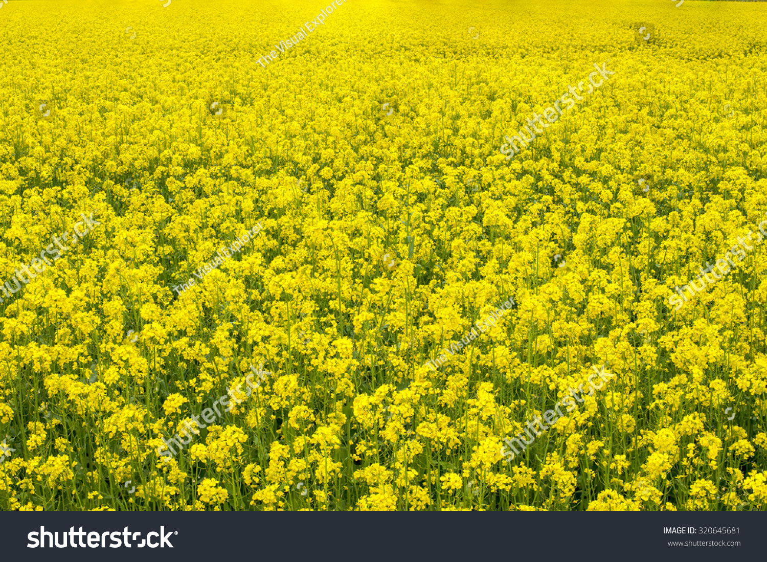 Mustard Plant Wallpapers Widescreen Is Cool Wallpapers