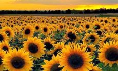 Sunflower Field Desktop Backgrounds Is Cool Wallpapers