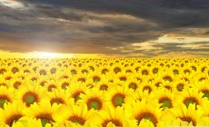 Sunflower Field Desktop Wallpaper Picture Is Cool Wallpapers