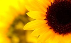 Sunflower Tumblr Wallpaper Desktop Background Is Cool Wallpapers