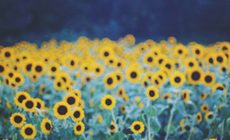Sunflower Tumblr Wallpaper Hd Is Cool Wallpapers