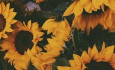 Sunflower Tumblr Wallpapers For Iphone Is Cool Wallpapers