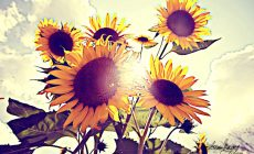 Sunflower Tumblr Wallpapers Free Is Cool Wallpapers