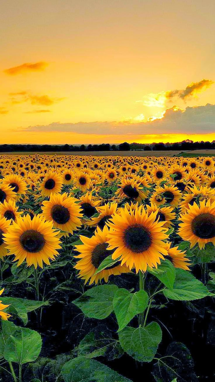 Download Sunflower Wallpaper Hd Is Cool Wallpapers