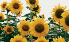Sunflower Wallpaper High Resolution Is Cool Wallpapers