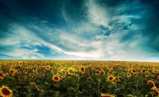 Sunflower Wallpapers Full Hd Is Cool Wallpapers