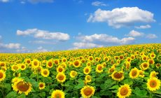 Sunflower Wallpapers Hd Is Cool Wallpapers