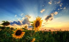 Sunflower Wallpapers Hd Resolution Is Cool Wallpapers