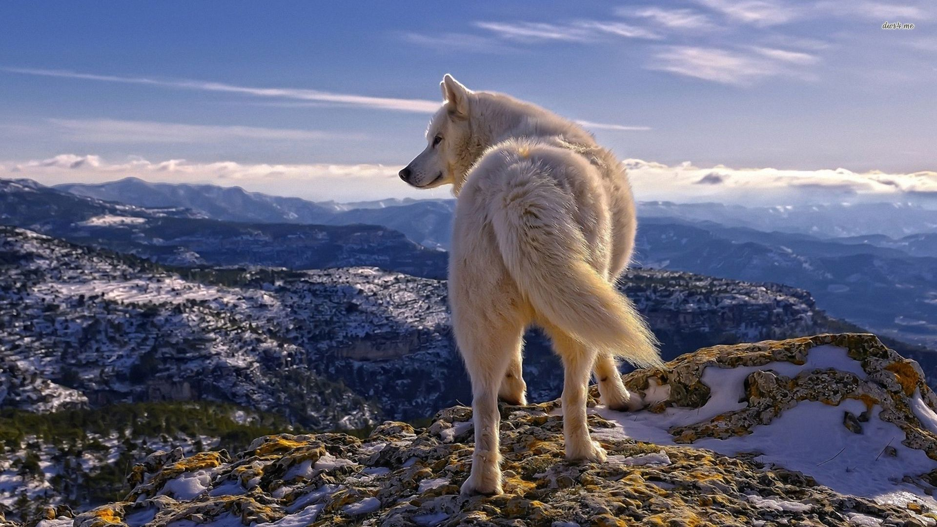 White Wolf Background Is Cool Wallpapers