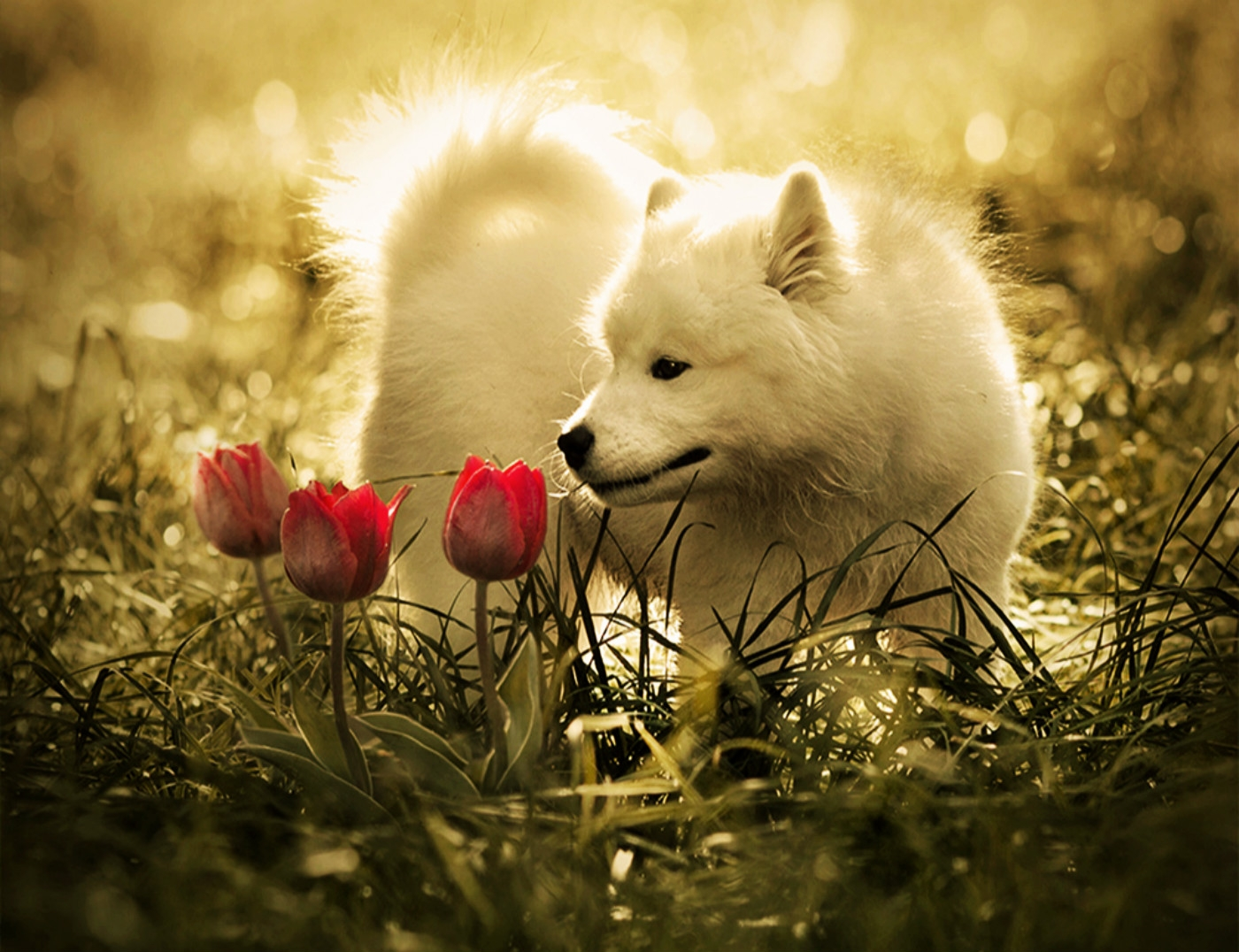 White Wolf Wallpaper Is Cool Wallpapers