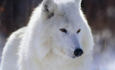 White Wolf Wallpaper Hd Resolution Is Cool Wallpapers