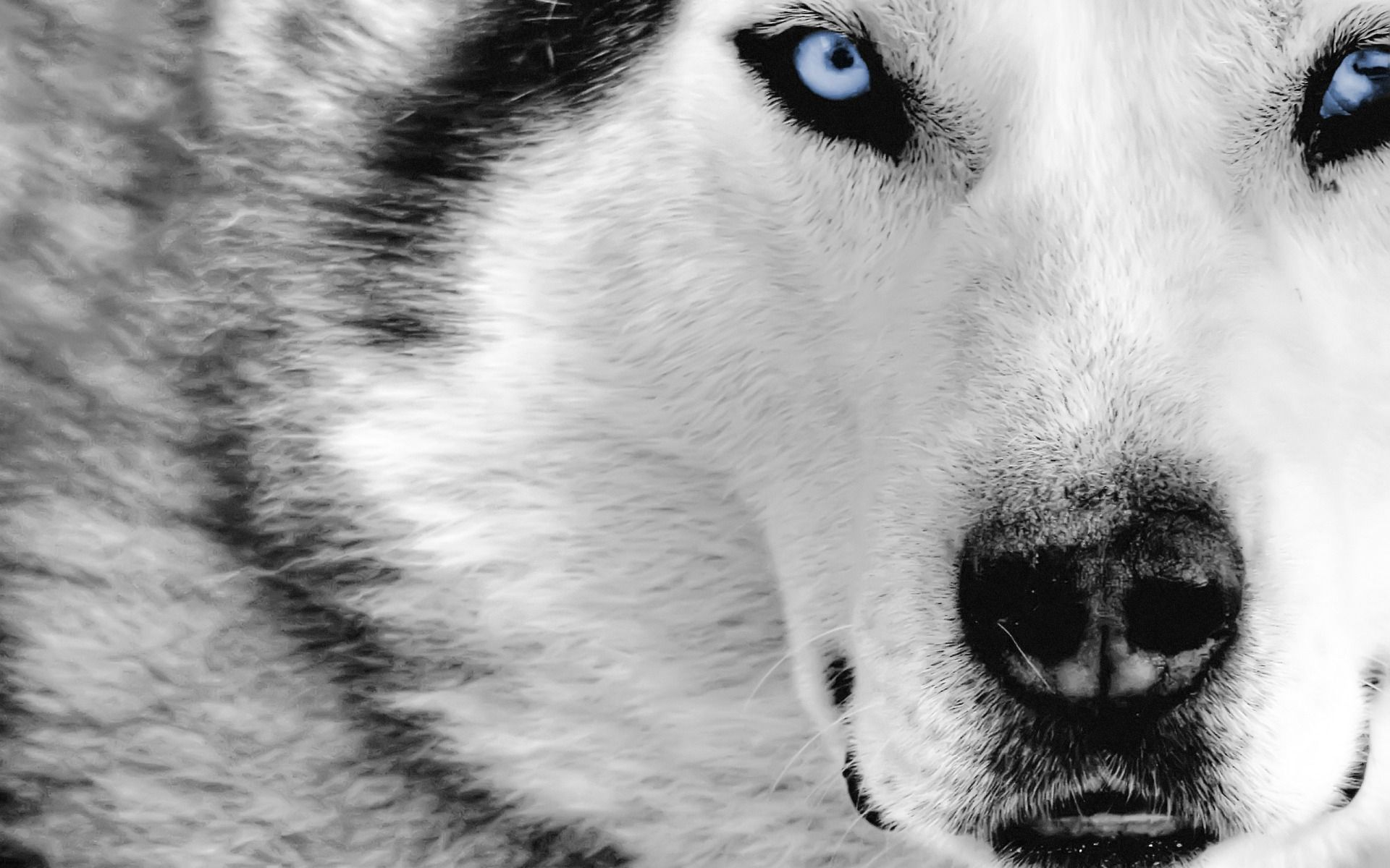 White Wolf Wallpaper Picture Is Cool Wallpapers