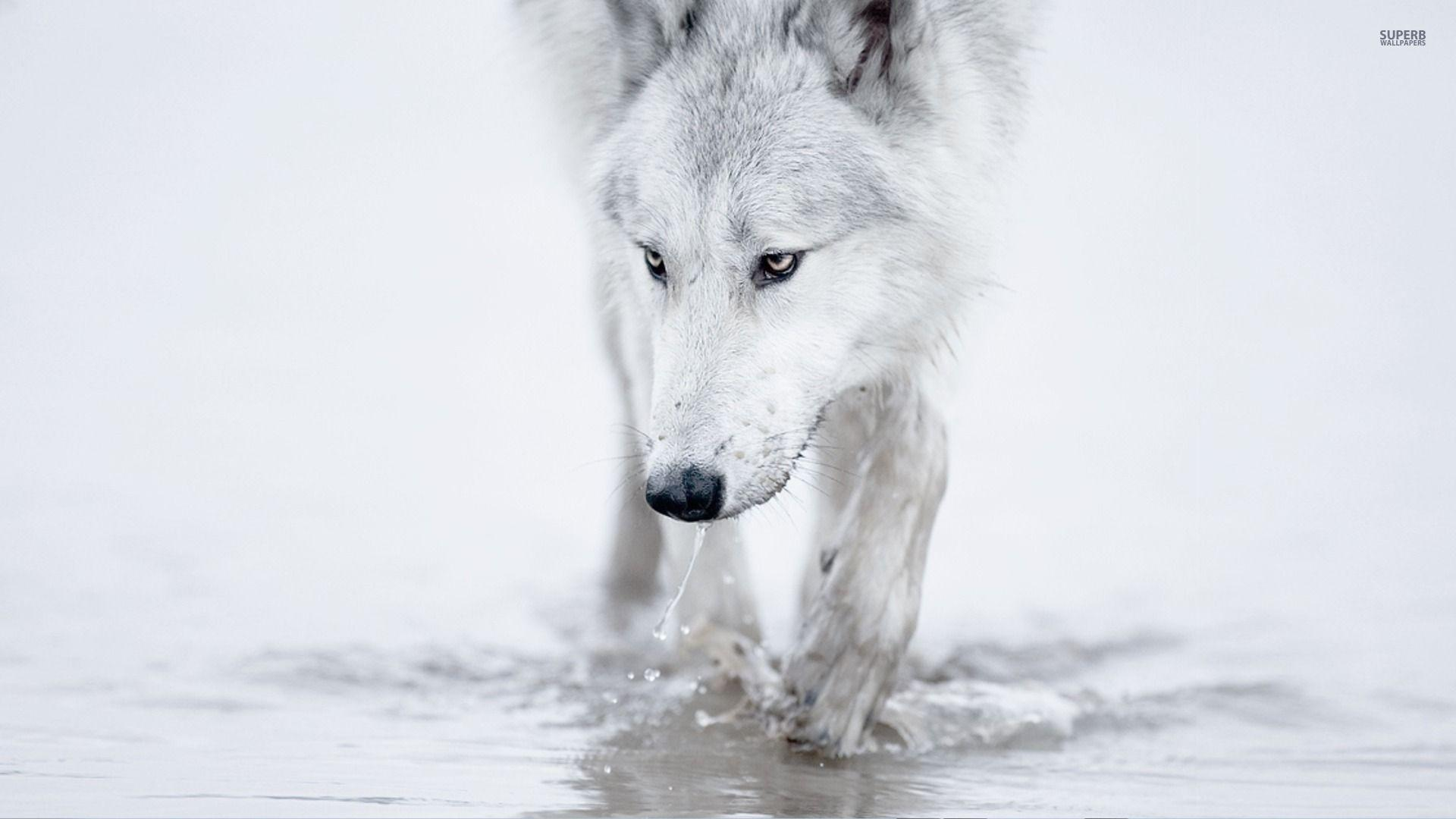 White Wolf Wallpapers High Quality Resolution Is Cool Wallpapers