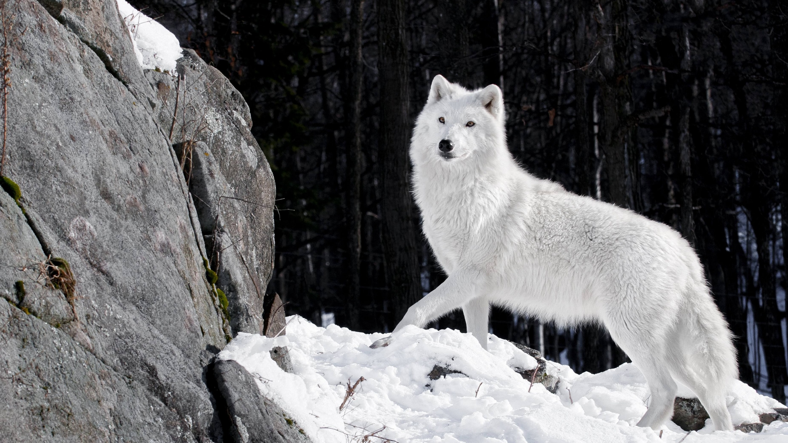 White Wolf Wallpapers High Resolution Is Cool Wallpapers