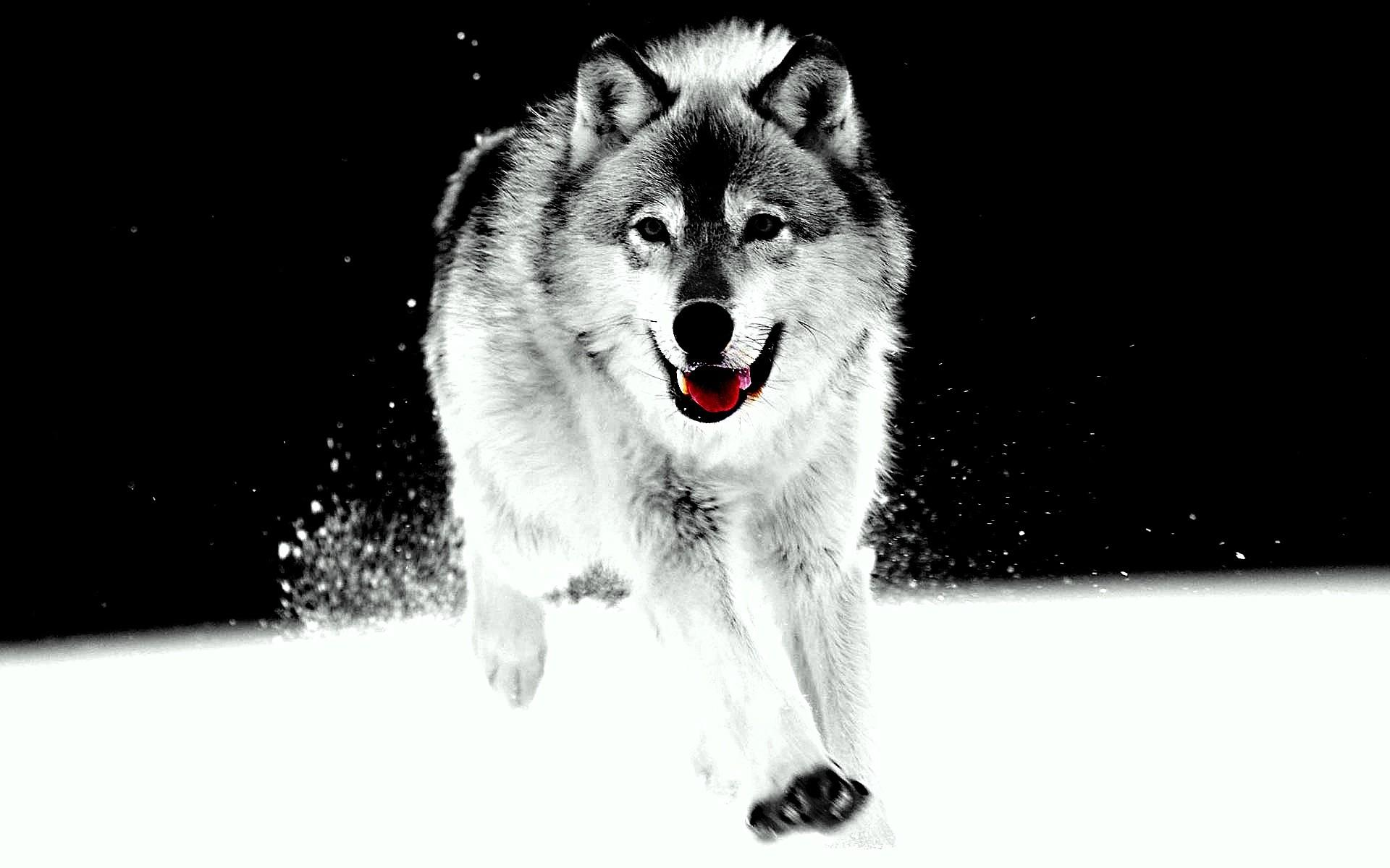 White Wolf Wallpapers Phone Is Cool Wallpapers