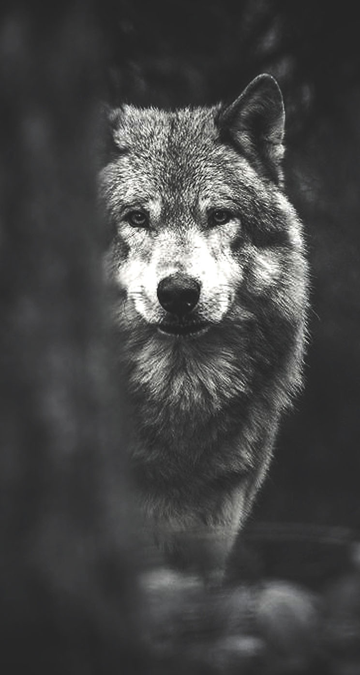 White Wolf Wallpapers Photo Is Cool Wallpapers