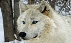 White Wolf Wallpapers Widescreen Is Cool Wallpapers