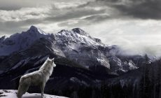 Wolf Wallpaper Free Is Cool Wallpapers