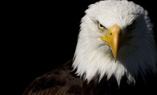 Eagle Backgrounds Is Cool Wallpapers