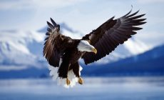 Eagle Wallpaper Desktop Is Cool Wallpapers