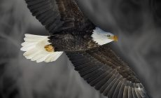 Eagle Wallpaper For Android Is Cool Wallpapers