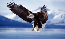 Eagle Wallpaper Wide Is Cool Wallpapers