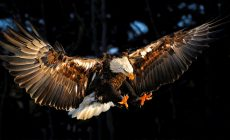 Eagle Wallpapers Hd Is Cool Wallpapers