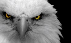Eagle Wallpapers Images Is Cool Wallpapers