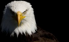 Eagle Wallpapers Mobile Is Cool Wallpapers
