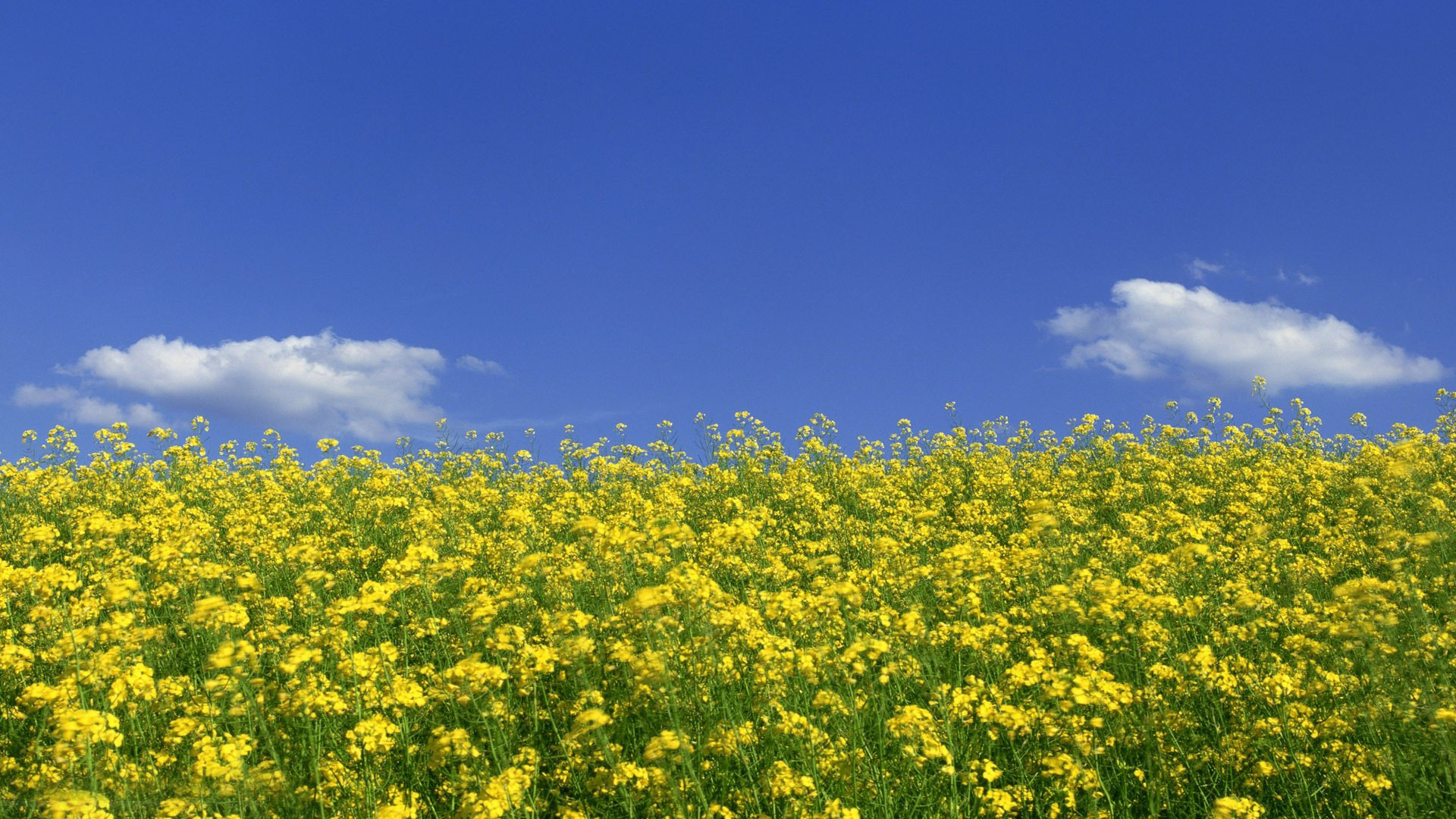 Mustard Plant Wallpaper High Quality Is Cool Wallpapers