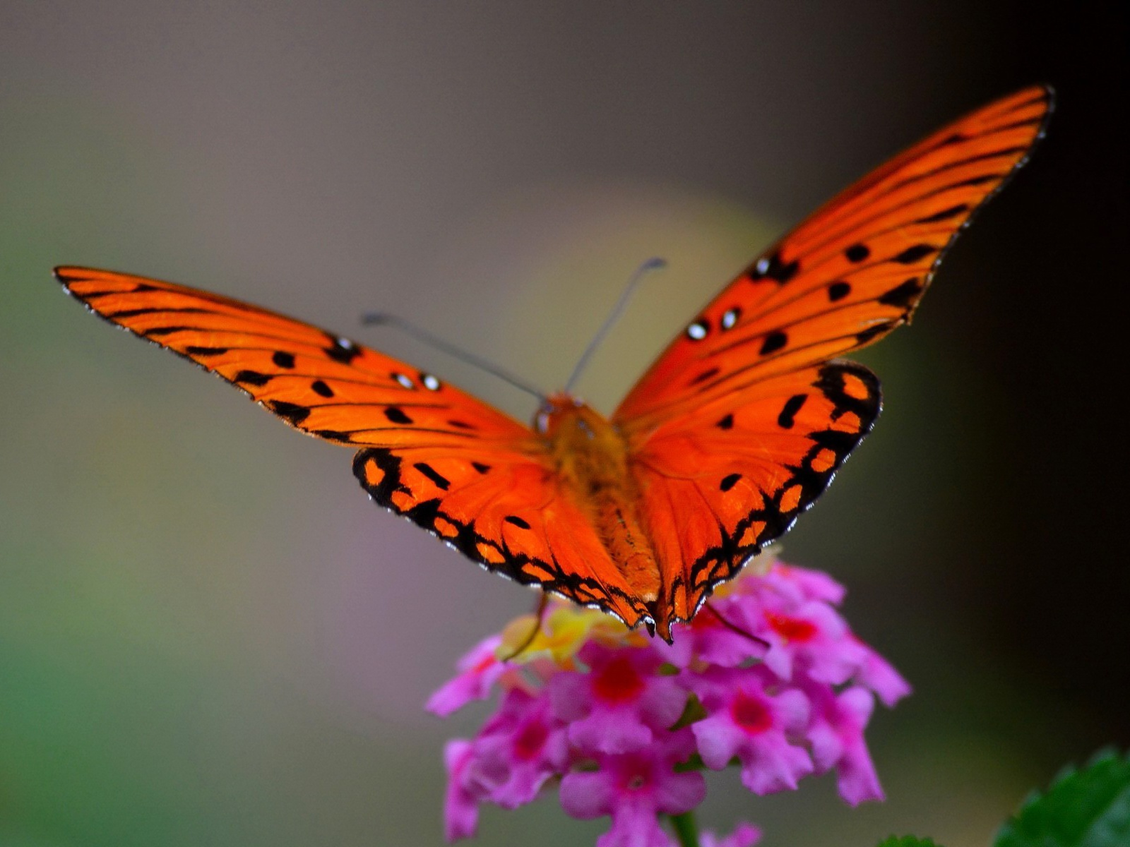 Red Butterfly Wallpaper 1080p Is Cool Wallpapers