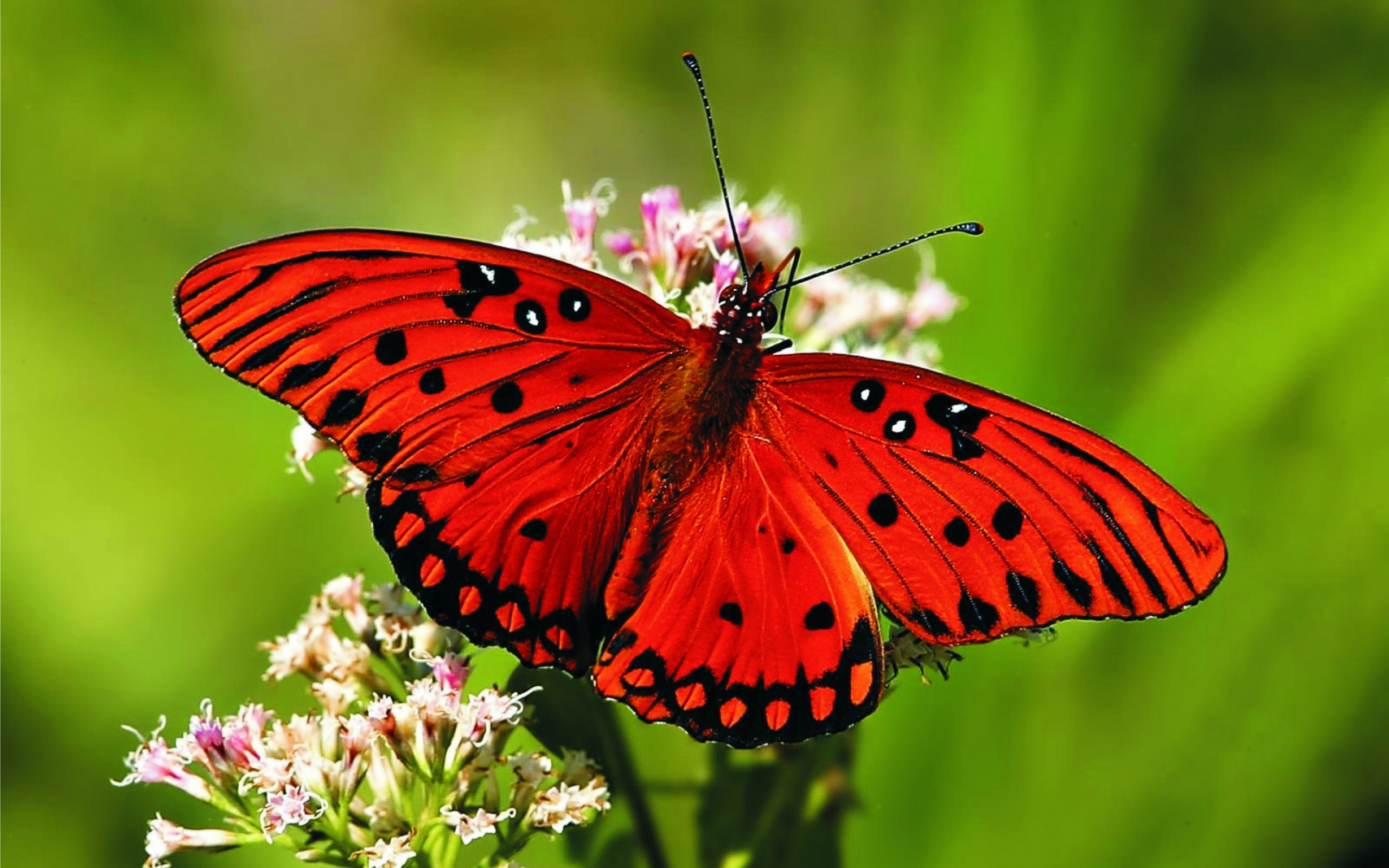 Red Butterfly Wallpaper High Definition Is Cool Wallpapers