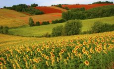 Sunflower Field Desktop Wallpapers Desktop Background Is Cool Wallpapers