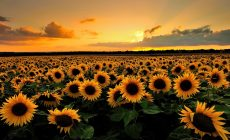 Sunflower Tumblr Wallpaper High Quality Resolution Is Cool Wallpapers