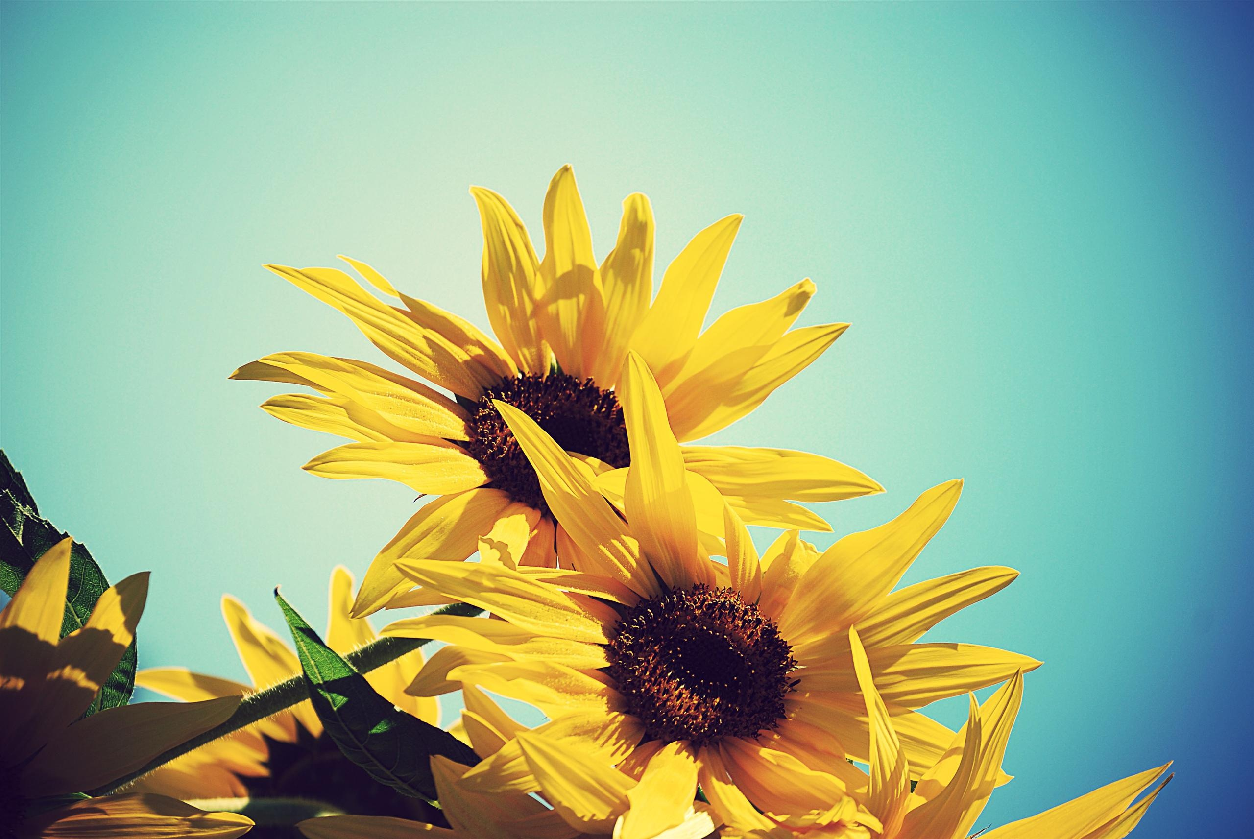 Sunflowers Background Tumblr Same Day Flower Delivery