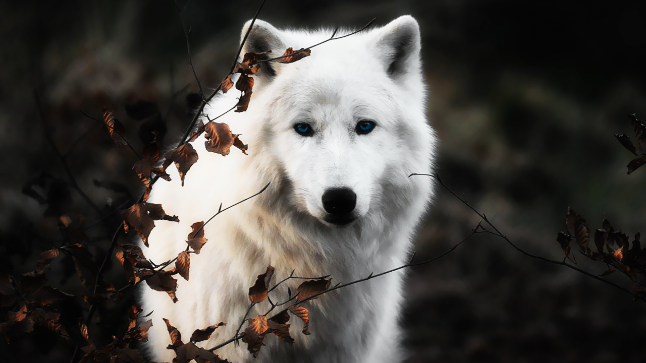 White Wolf Wallpapers For Android Is Cool Wallpapers