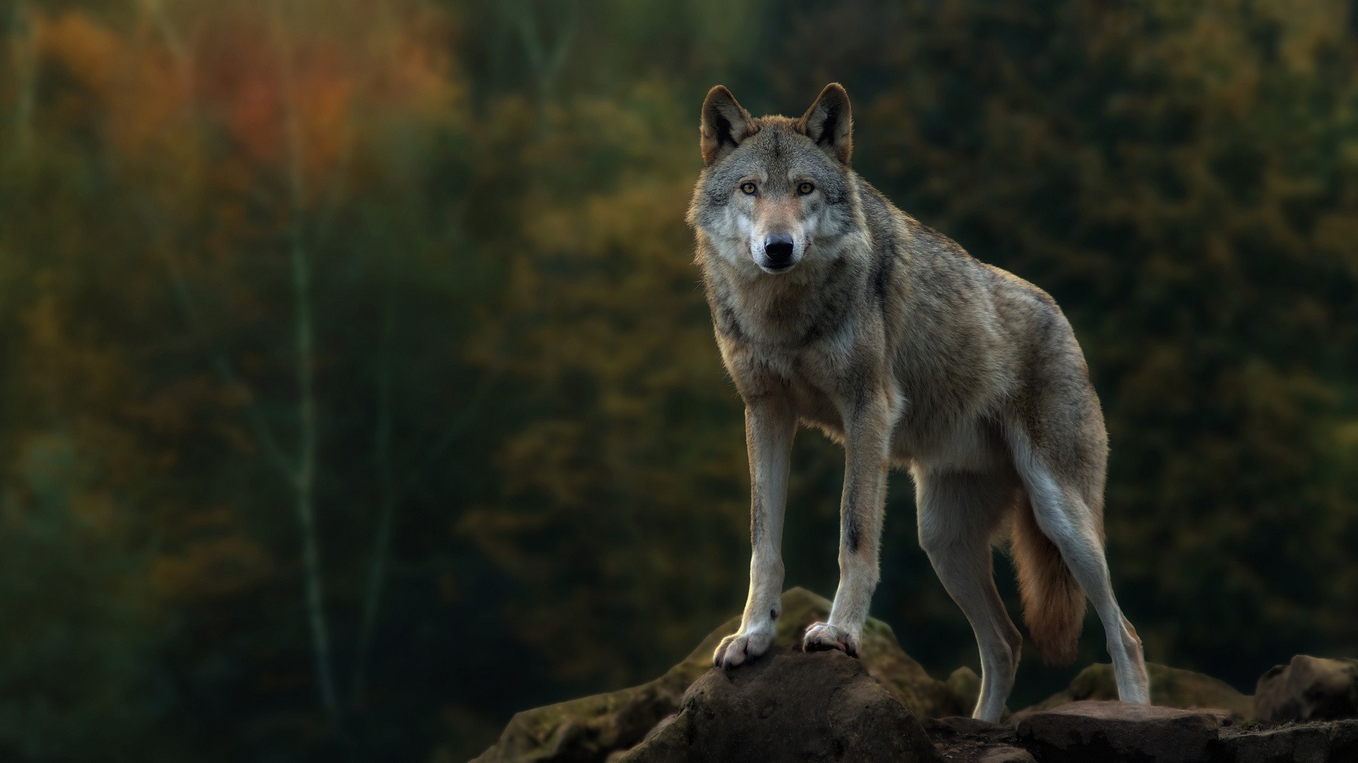 Wolf Picture Is Cool Wallpapers
