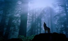 Wolf Wallpaper 1080p Is Cool Wallpapers