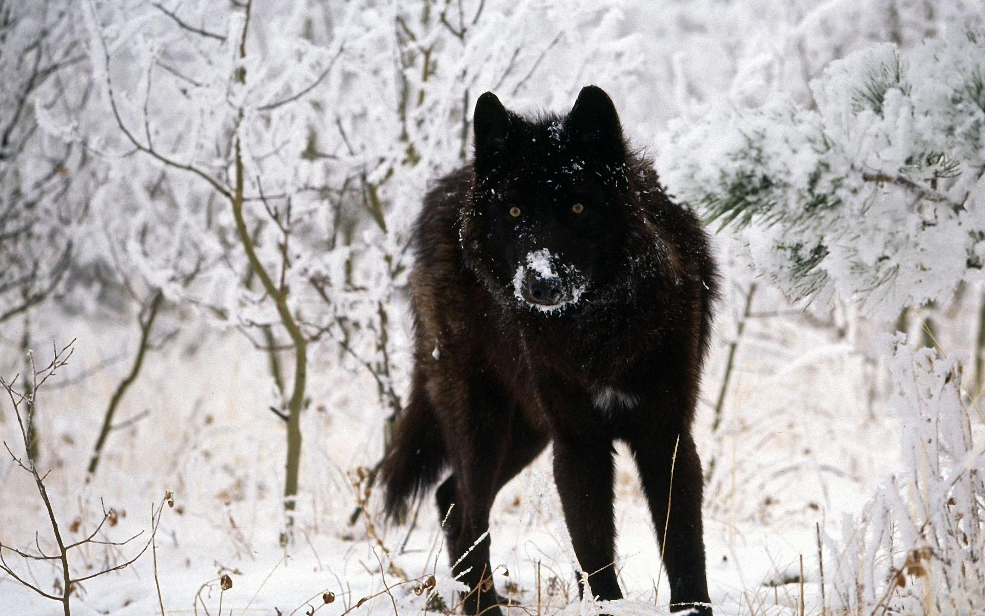 Wolf Wallpapers High Quality Resolution Is Cool Wallpapers